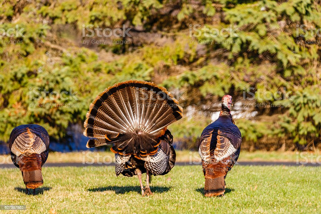 Three Male Turkeys stock photo