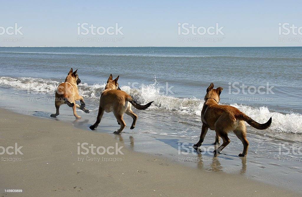 three malinois and the sea stock photo