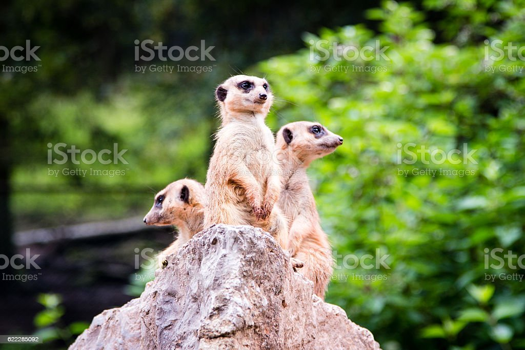Three Meerkat standing on a rock stock photo