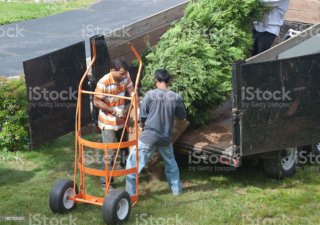 Three men unloading a tree off a truck stock photo