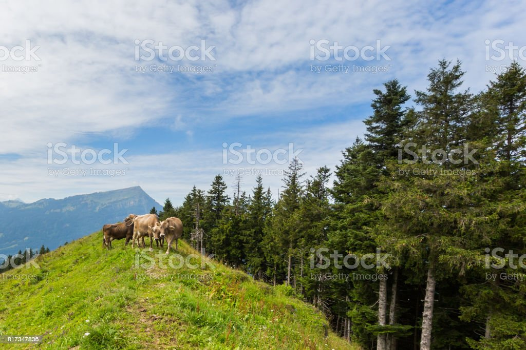 three milk cows in meadow Switzerland with mount Rigi and trees stock photo