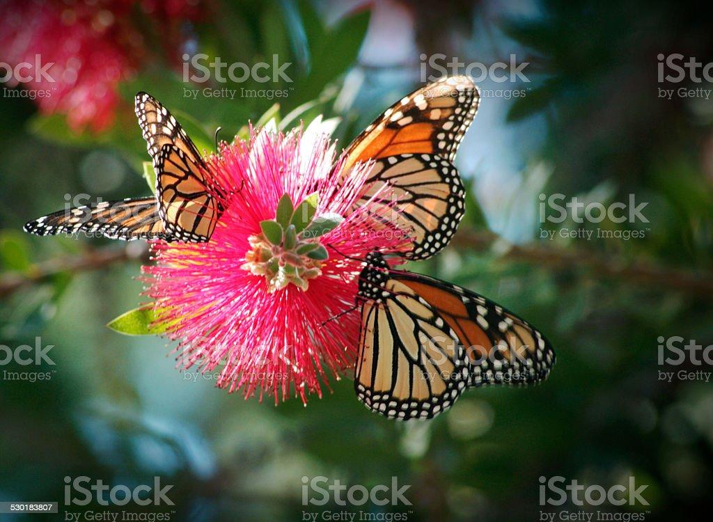 Three monarch butterflies on a bottlebrush tree stock photo