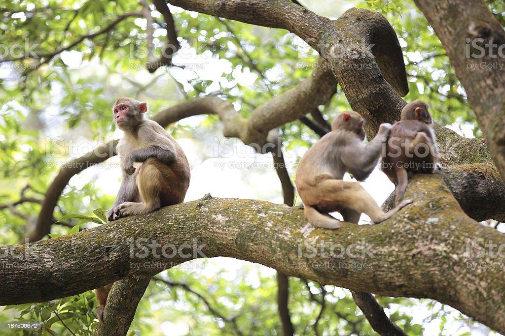 three monkeys on tree stock photo