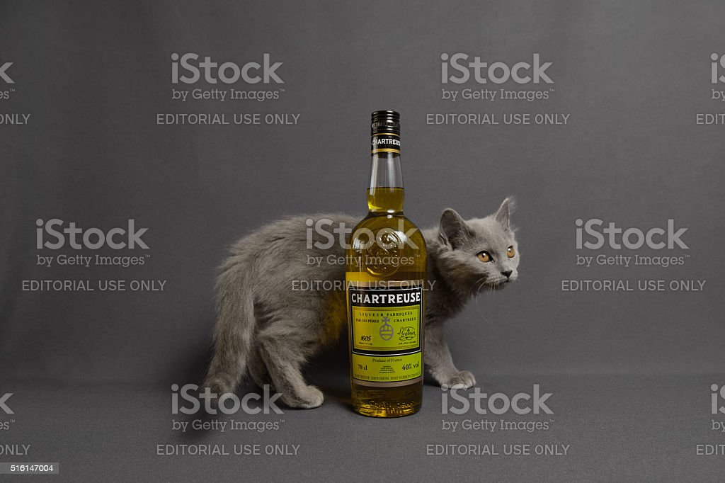 Three month old Chartreux cat with liquor stock photo