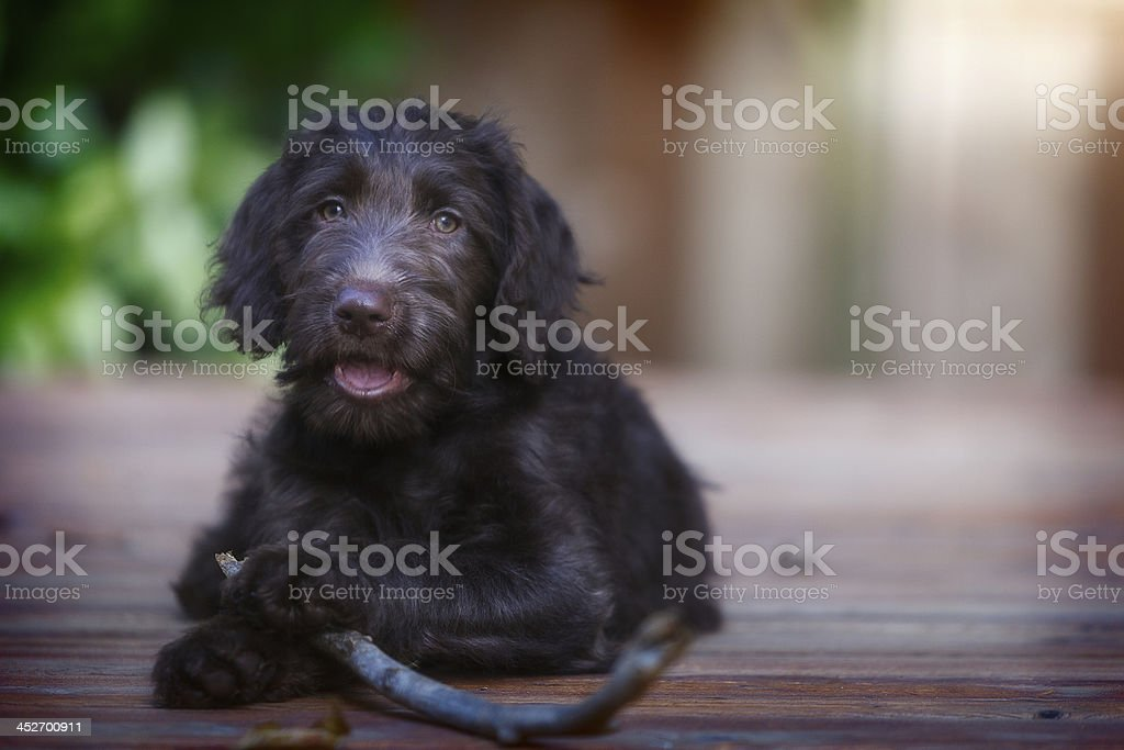 Three month old Labradoodle puppy outside with stick royalty-free stock photo
