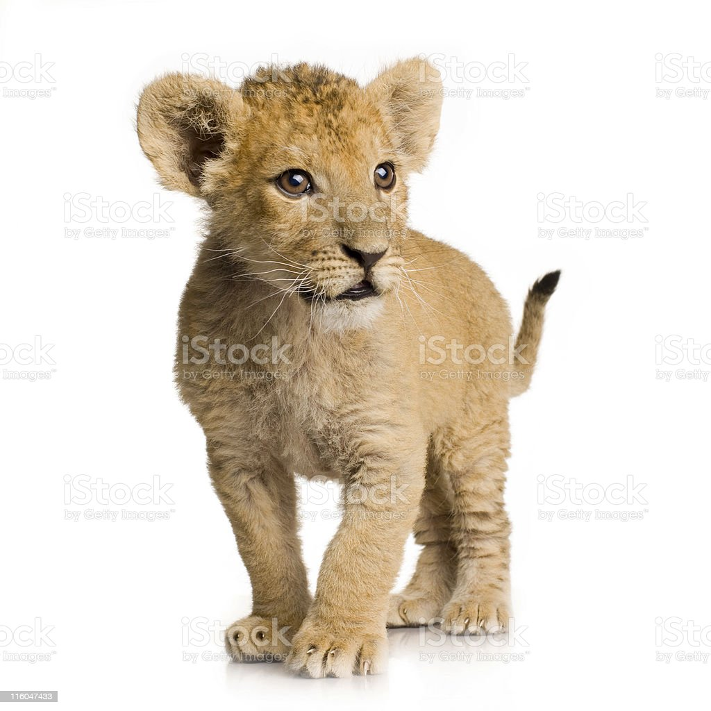 Three month old lion cub on white background stock photo