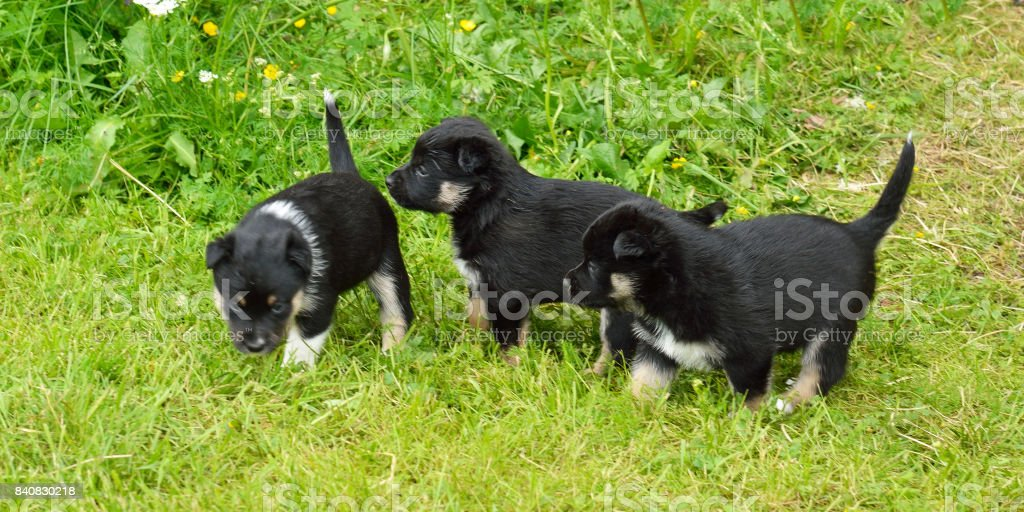 Three monthly puppies play in grass stock photo