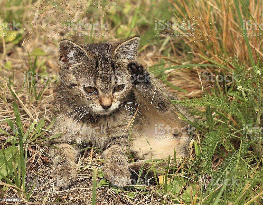 Three months old kitten royalty-free stock photo