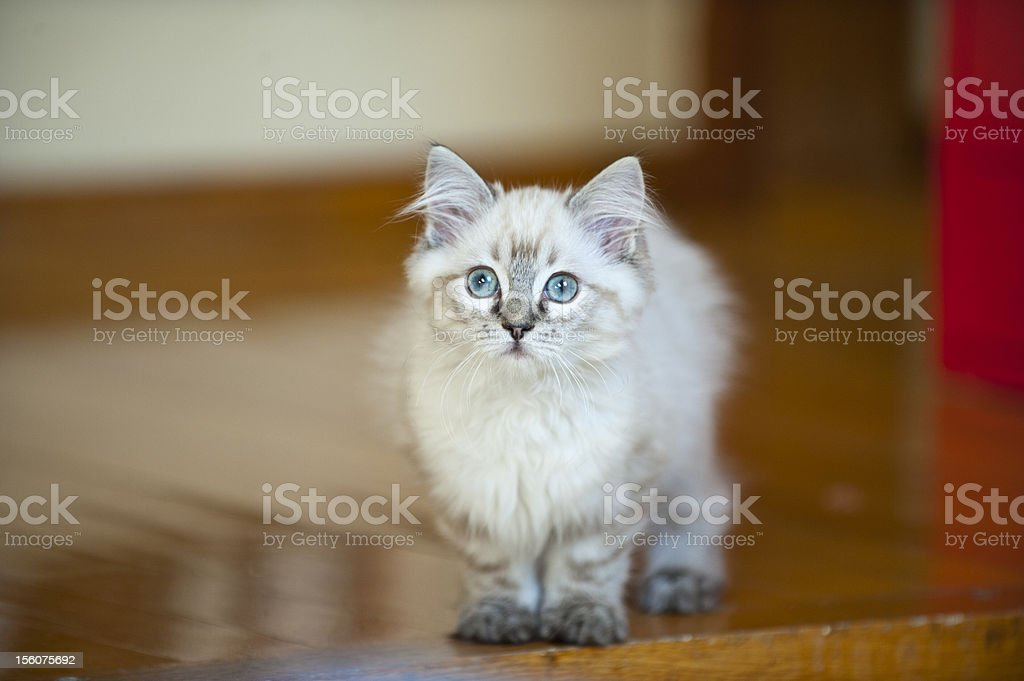 Three months old ragdoll puppy is playing royalty-free stock photo