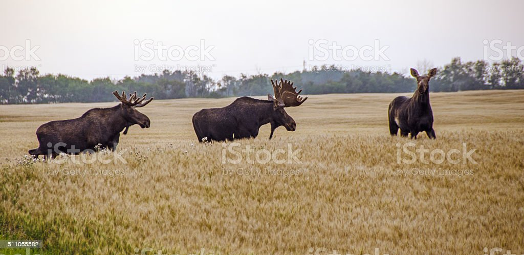 Three  moose in a barely field in the fall stock photo