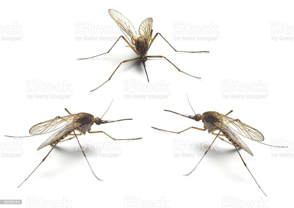 Three mosquitos royalty-free stock photo