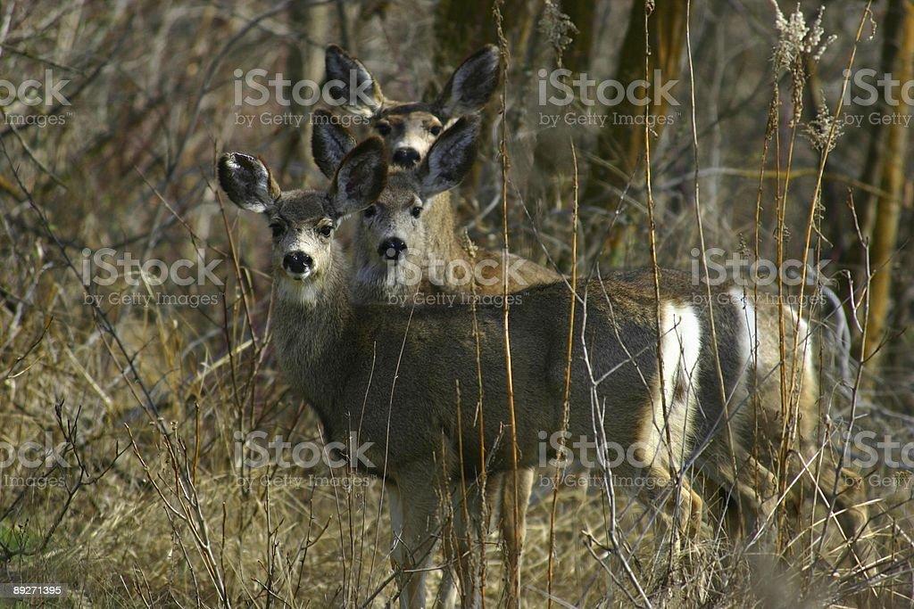 Three Mule Deer stock photo