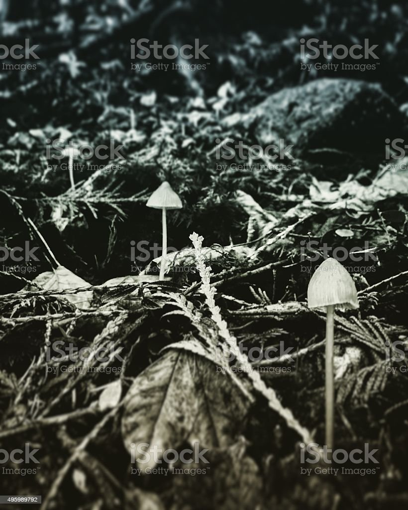 Three mushrooms in a row royalty-free stock photo