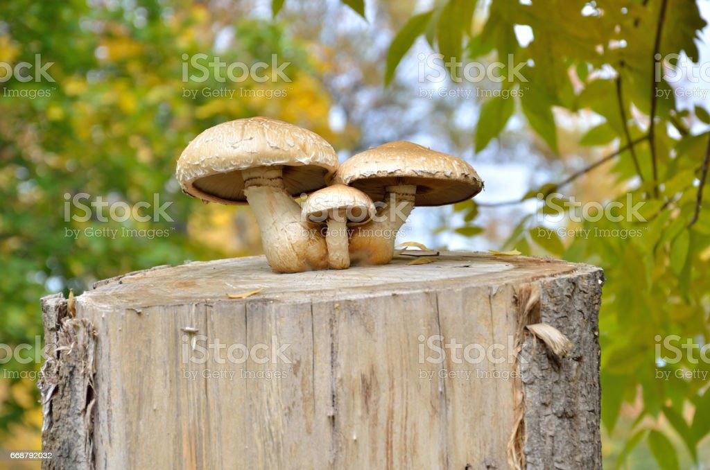 Three mushrooms on stump in autumn on background of leaves stock photo