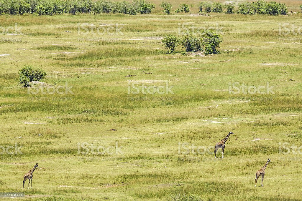 Three musketeers at Masai Mara - Giraffes royalty-free stock photo