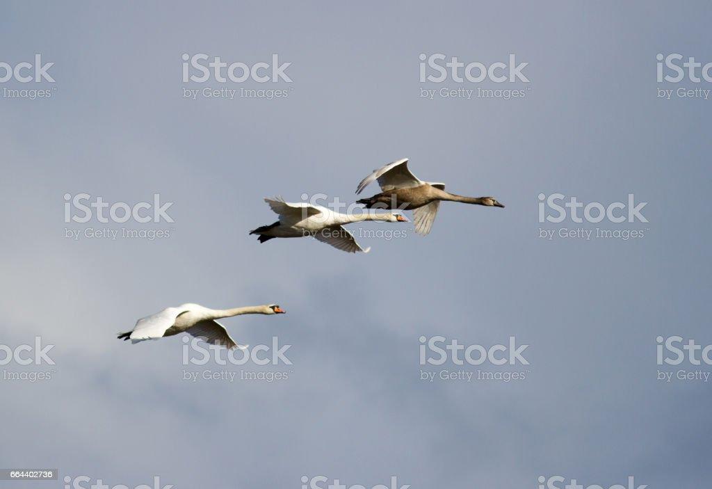 Three mute swans in flight stock photo
