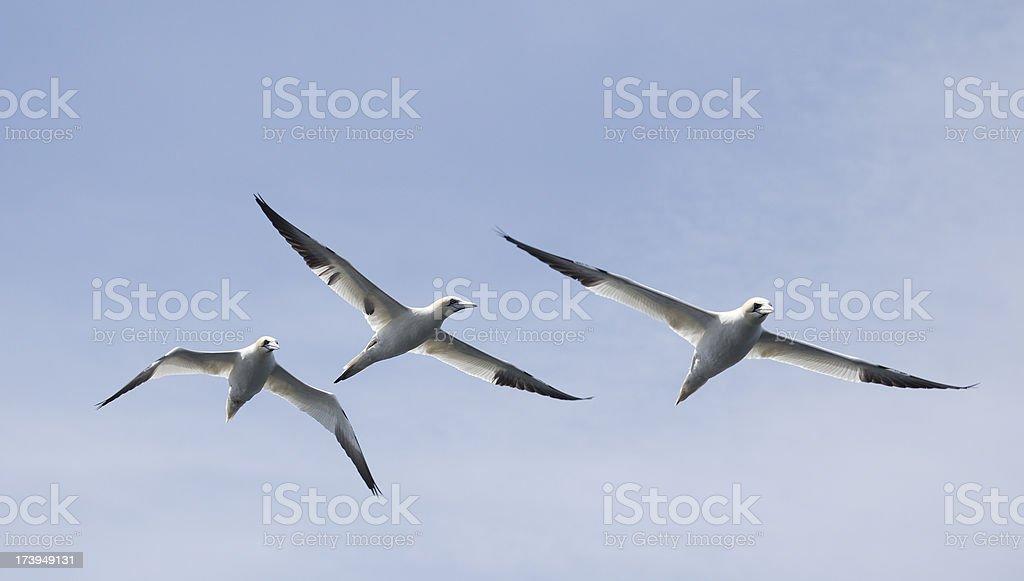 Three Northern Gannets, Morus bassanus stock photo