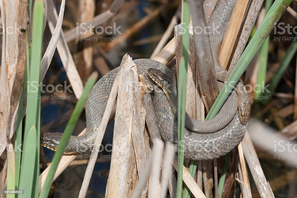 Three Northern Water Snakes Curled Up Together stock photo