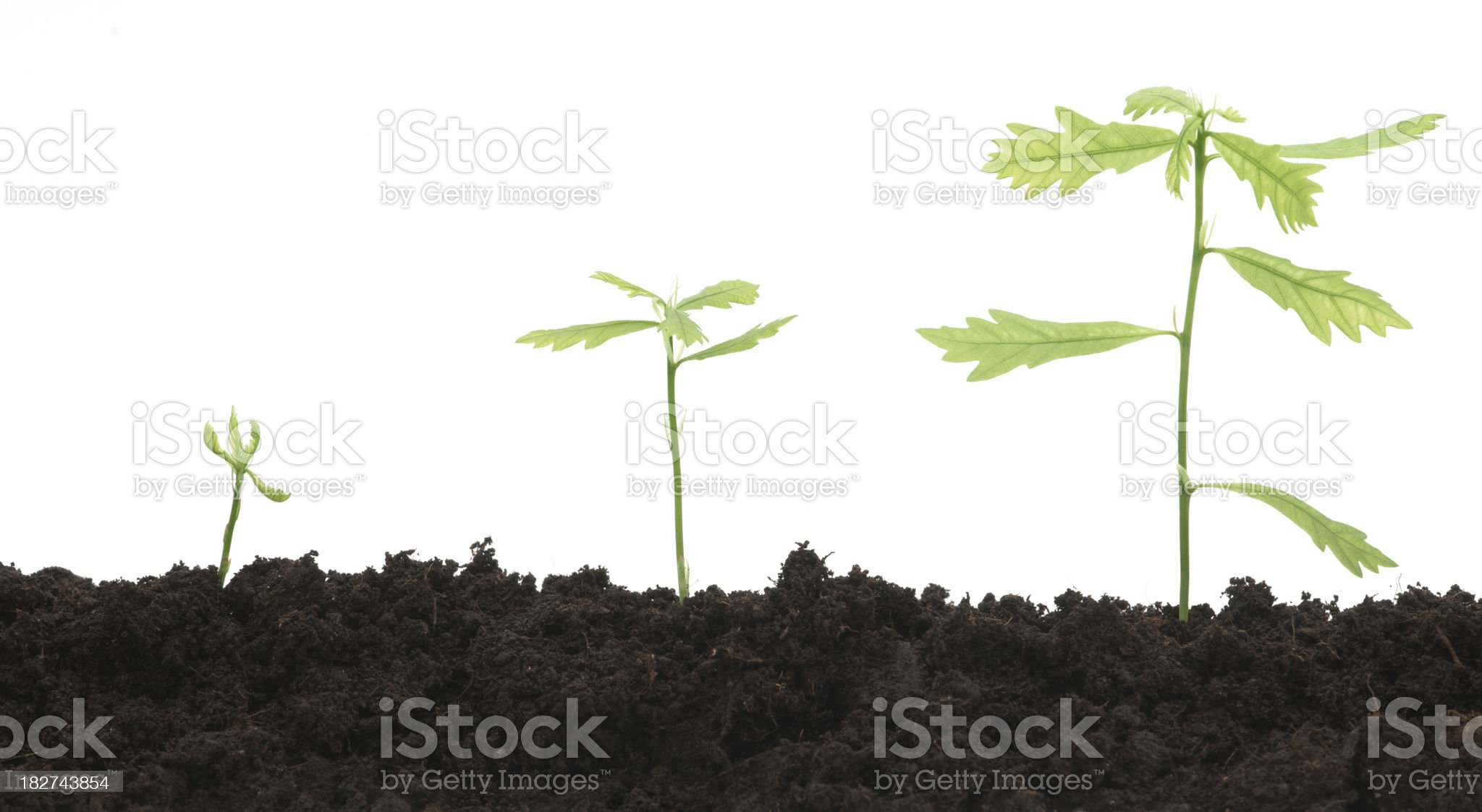 Three oak trees growing against white background royalty-free stock photo