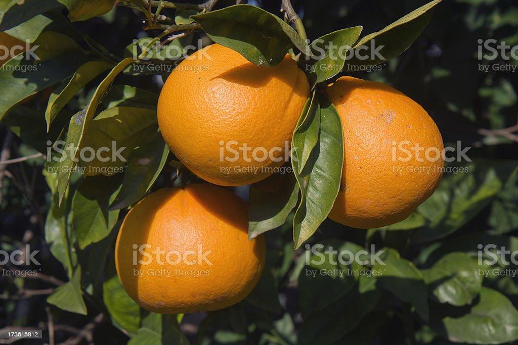 Three Oranges royalty-free stock photo