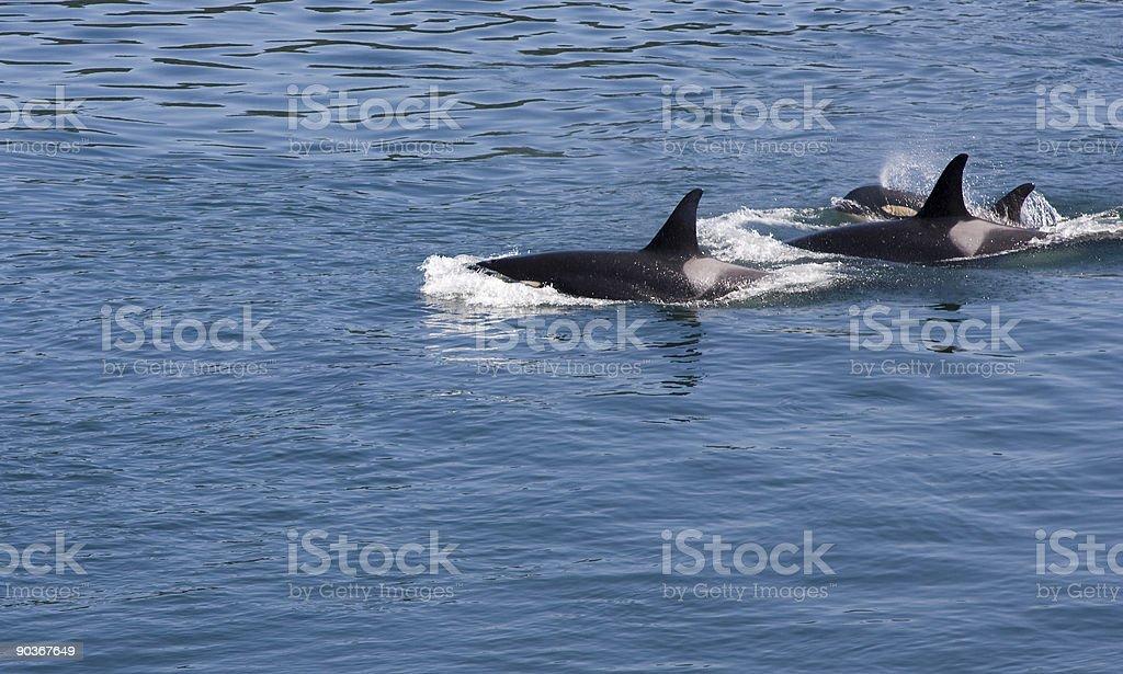 Three Orcas royalty-free stock photo