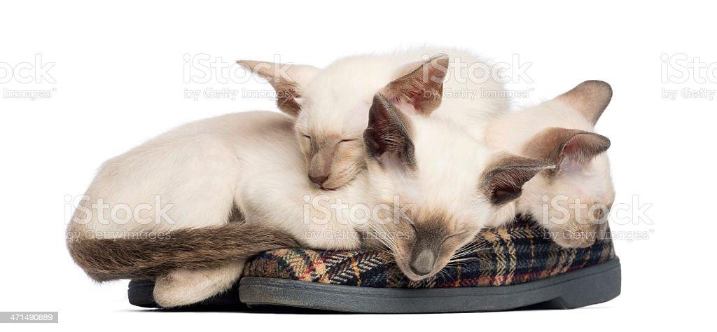 Three Oriental Shorthair kittens, 9 weeks old, lying and sleeping royalty-free stock photo