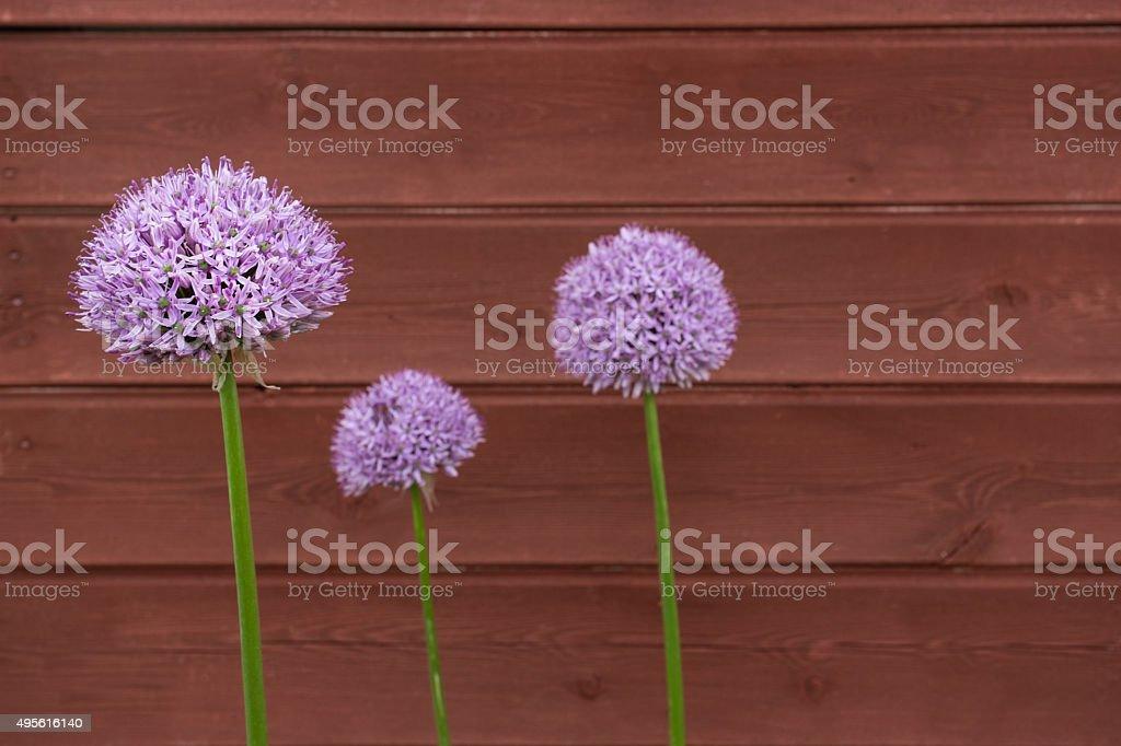 Three Ornamental Onion (Allium) flowers against timber background stock photo