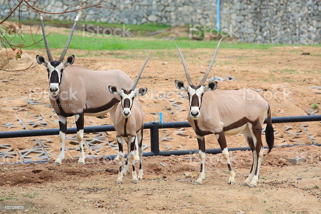 Three oryxes stock photo