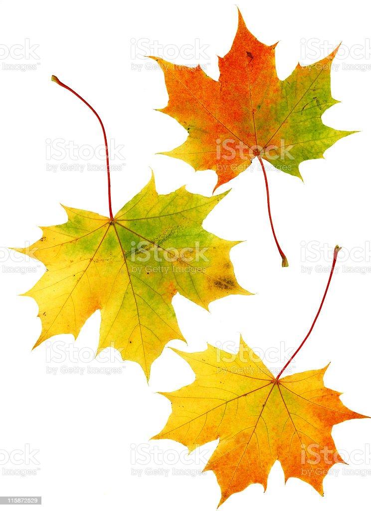 Three pale autumn leaves stock photo