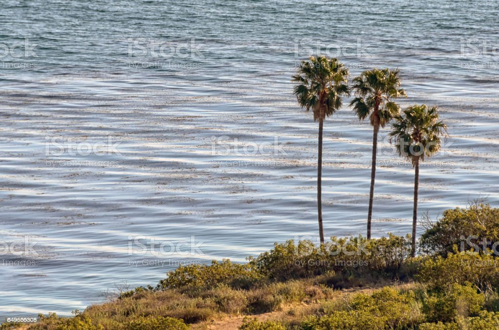 Three palm trees against ocean background stock photo