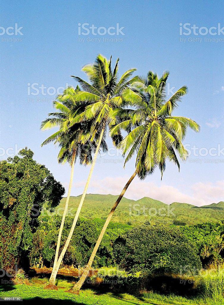 Three Palm trees on Hawaii royalty-free stock photo