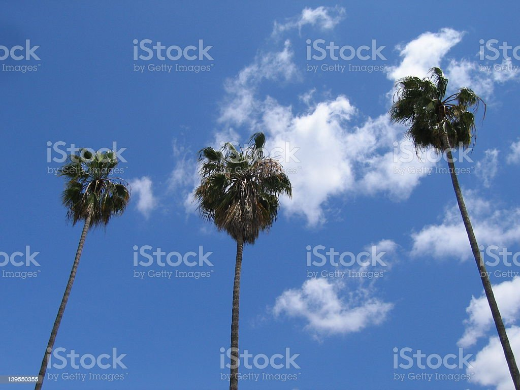 Three Palms against a Blue Canvass royalty-free stock photo