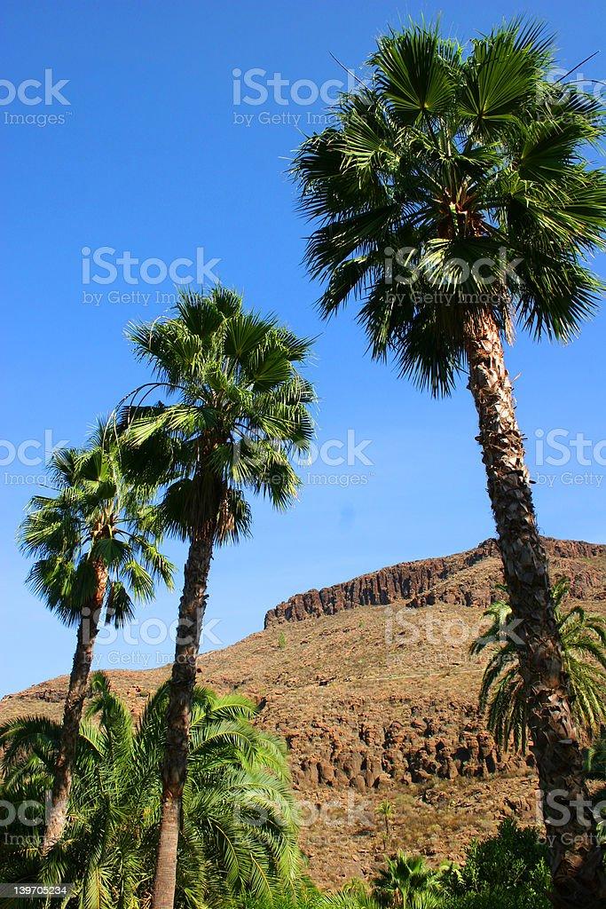 three palms stock photo