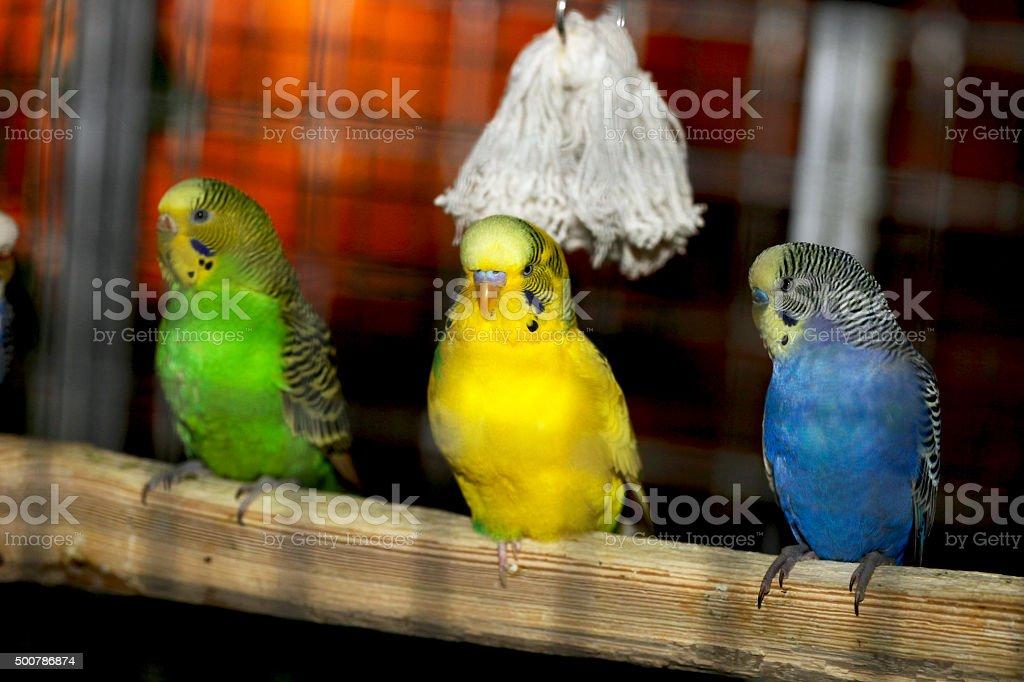 three parrots stock photo