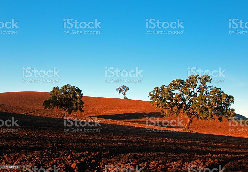 Three Paso Robles California Oaks in plowed field stock photo