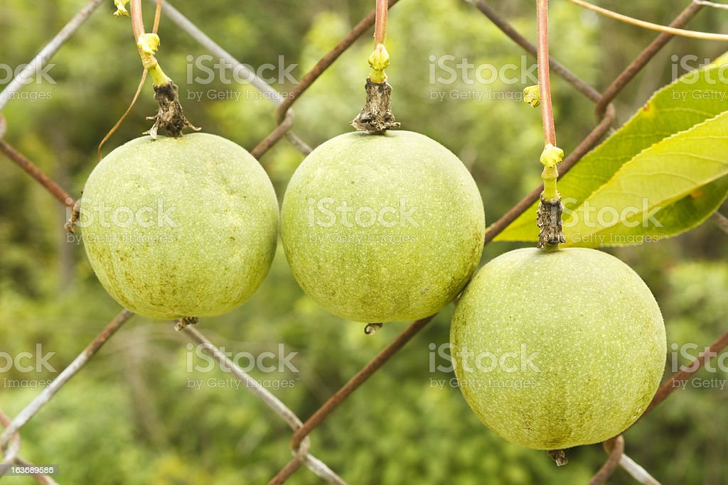Three Passion Fruits stock photo