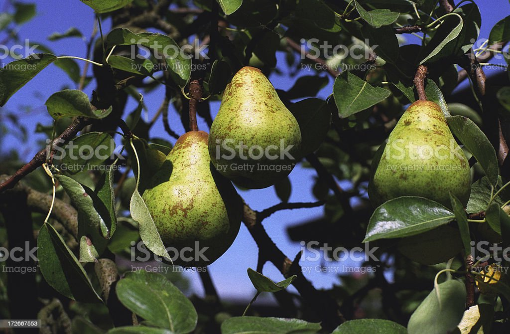 Three pears in a tree royalty-free stock photo