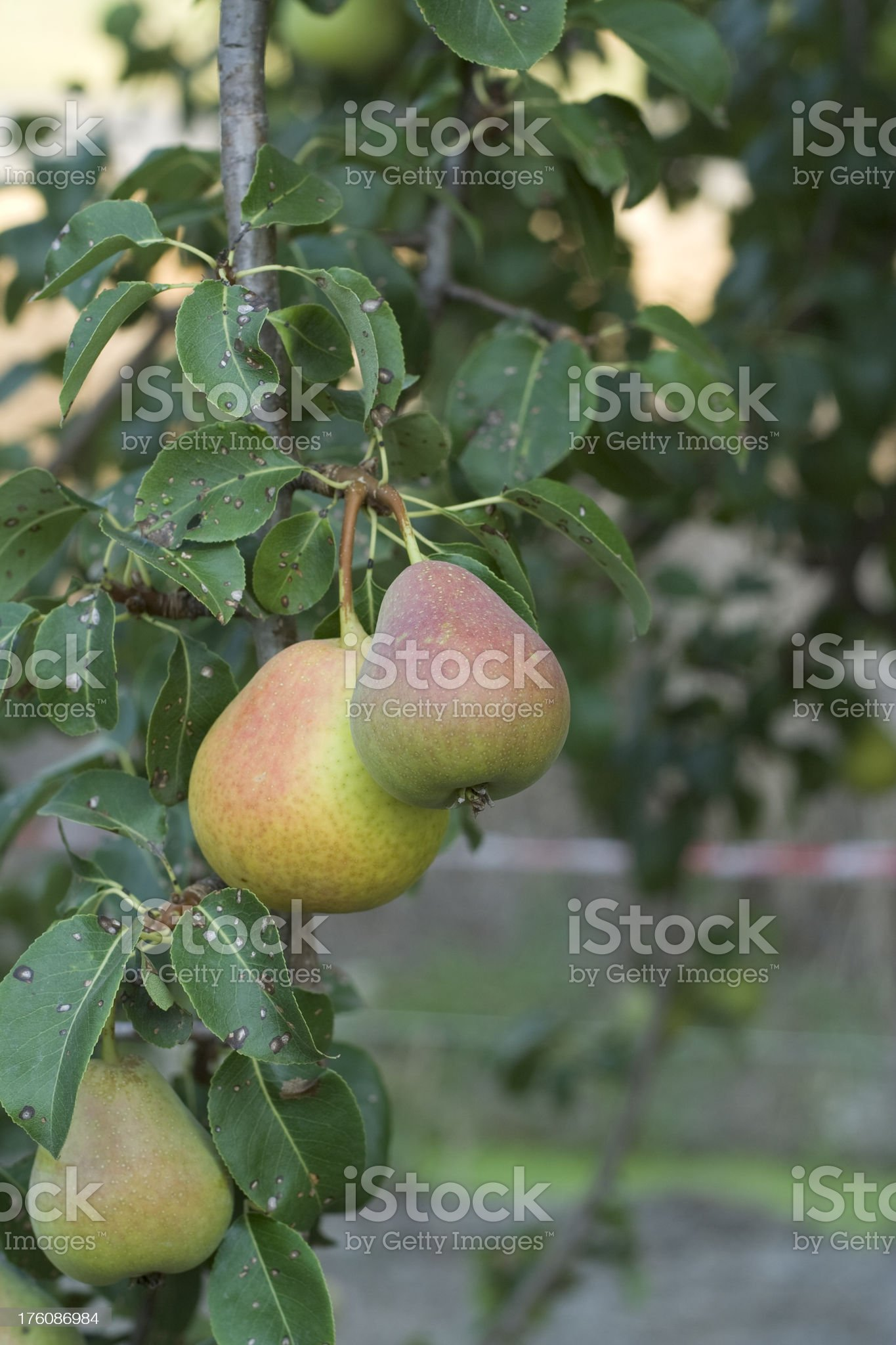Three Pears on a Tree royalty-free stock photo