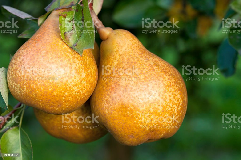 Three Pears still hanging from the branch of the tree stock photo