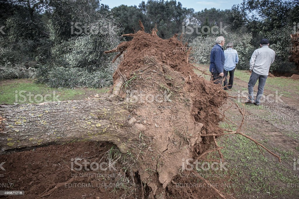 Three peasants are in the olive trees felled stock photo