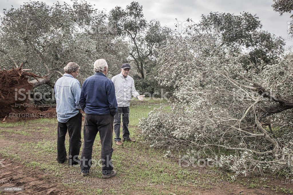 Three peasants are into the olive trees felled stock photo