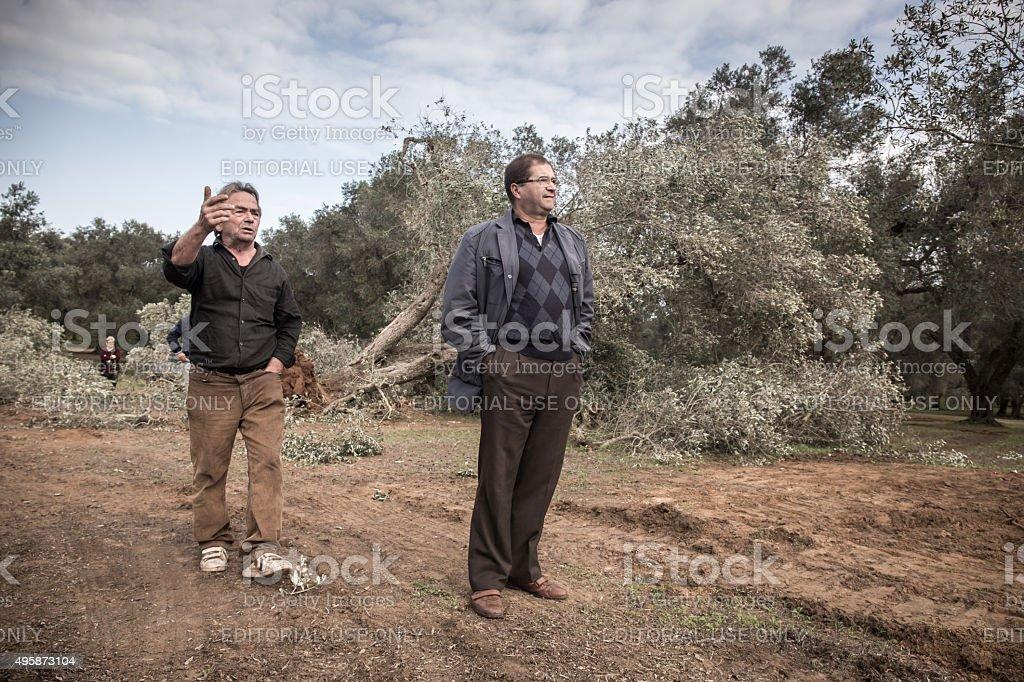 Three peasants walking among the olive trees felled stock photo