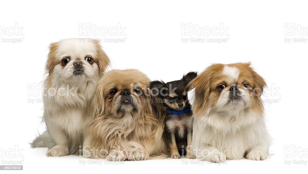 three Pekingeses and one chihuahua royalty-free stock photo