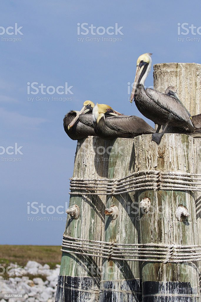 Three Pelicans on a Perch stock photo