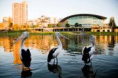 Three pelicans Torrens river Adelaide South Australia