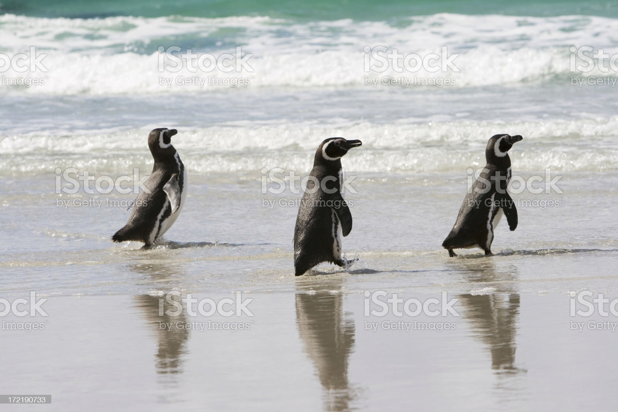 Three Penguins in a row royalty-free stock photo