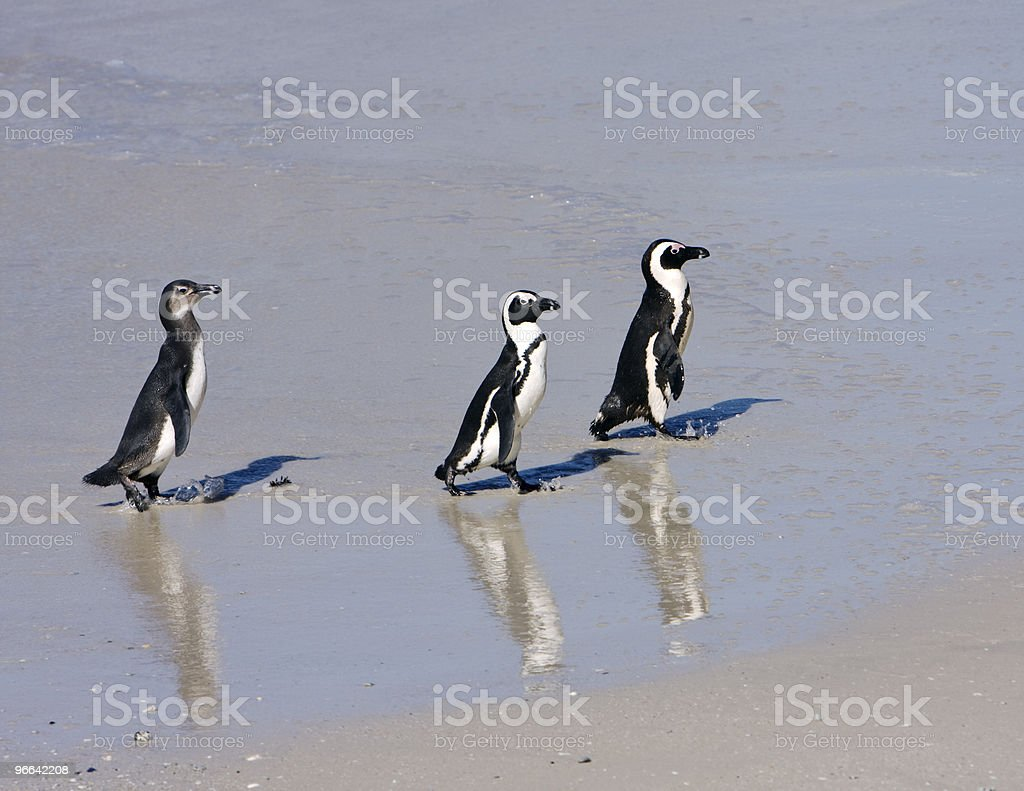 Three Penguins On The Beach royalty-free stock photo