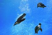 Three penguins swimming under water
