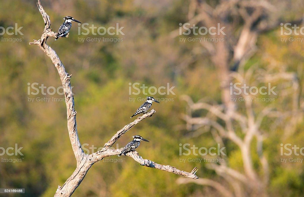 Three Pied Kingfisher waiting on a tree stock photo