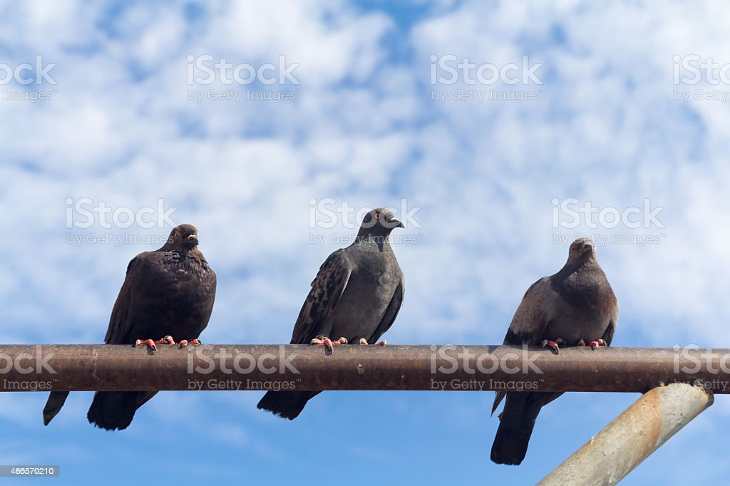 three pigeon perch on a Rack with clear blue sky stock photo